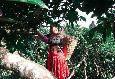 Theo người Mông hái chè Shan Tuyết cổ thụ 300 năm tuổi ở Tà Xùa