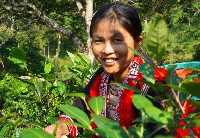 Đi hái chè Shan Tuyết cổ thụ với người Dao đỏ ở Hoàng Su Phì