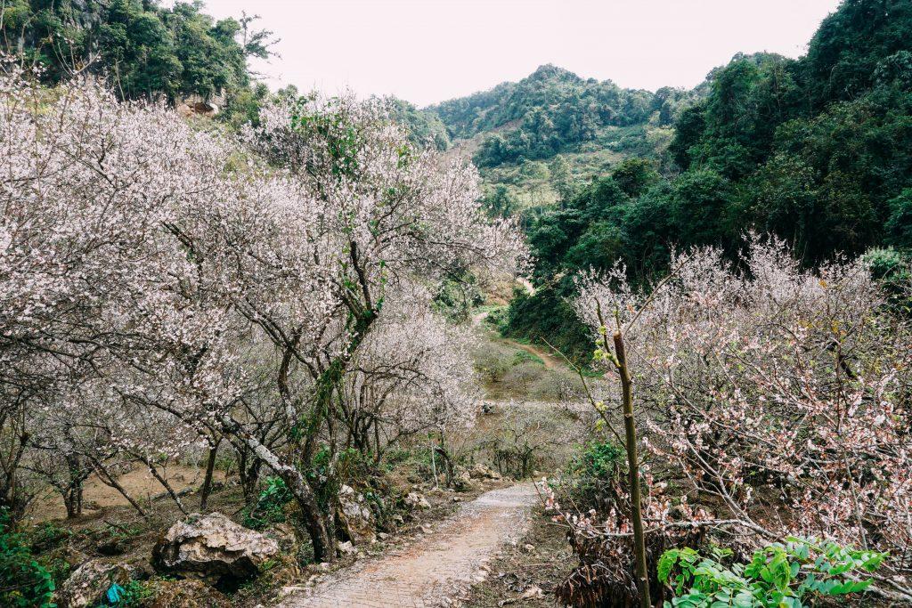 vườn mơ ở mu náu Mộc Châu