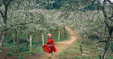 Experience seasonal rebirth as spring descends on Moc Chau valley